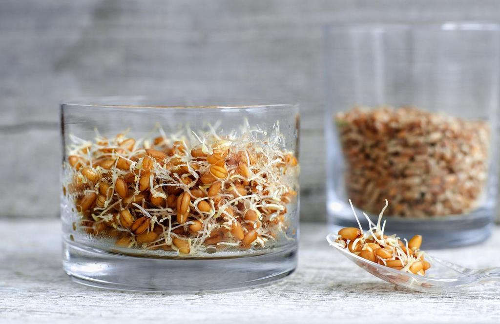 Пророщенное зерно пшеницы – источник здорового питания
